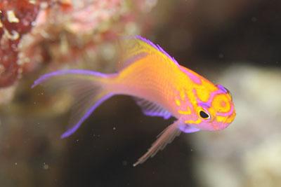 住崎 ハナゴンベ幼魚