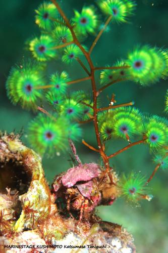 備前 ヤドカリの貝にケヤリが生えてた20150430