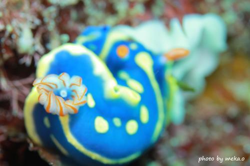 中黒礁 アオウミウシの産卵20150501