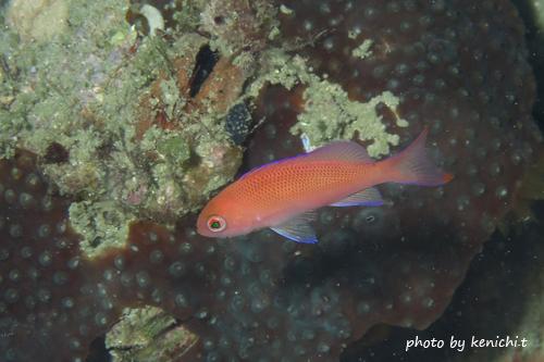 中黒礁 アカオビハナダイ20150507