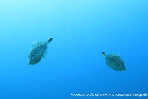 イスズミ礁 カワハギのオス同士の喧嘩