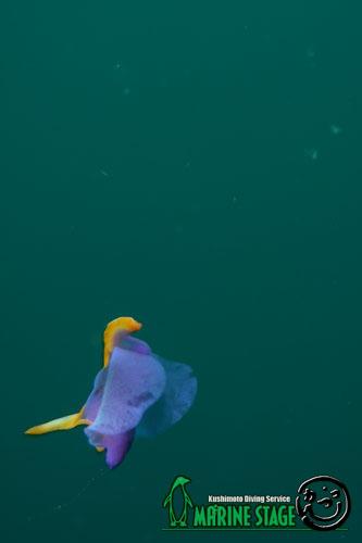 住崎東 泳いでいたムラサキウミコチョウ!