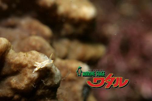 グラス コトヒメウミウシ