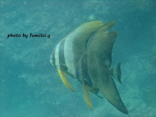 中黒礁 ツバメウオ×2