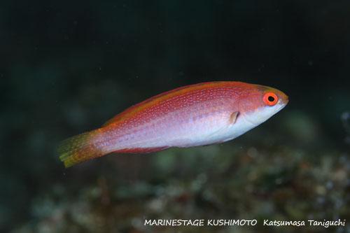 アミハタ ゴシキイトヒキベラの幼魚