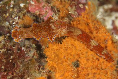 イスズミ礁 テヌウニシキウミウシ