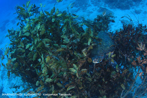 アミハタ アオリイカの産卵床で休憩するアオウミガメ。笑