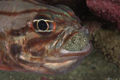 口内保育中のオオスジイシモチ