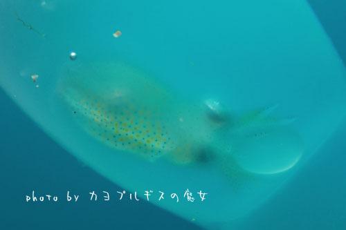 中黒礁 アオリイカの子