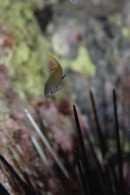 グラスワールド キホシスズメダイの幼魚