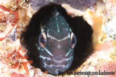 穴から顔を出すカモハラギンポ