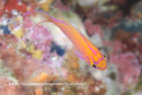 備前 ハナゴンベの幼魚