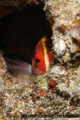 グラスワールド バラハタの幼魚