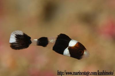 住崎 アジアコショウダイの幼魚のアップ