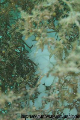 中黒礁 ホンダワラに産んでるアオリイカの卵