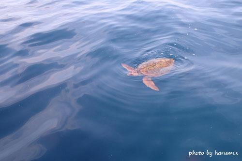 水面 アカウミガメ