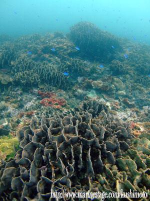 グラスワールド シコロサンゴの群生