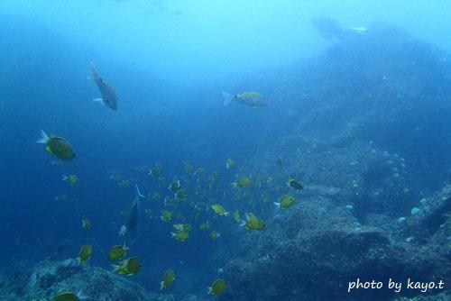 二の根 コガネスズメダイの成魚の群れ