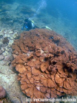 オレンジハウス前ビーチ オオスリバチサンゴ