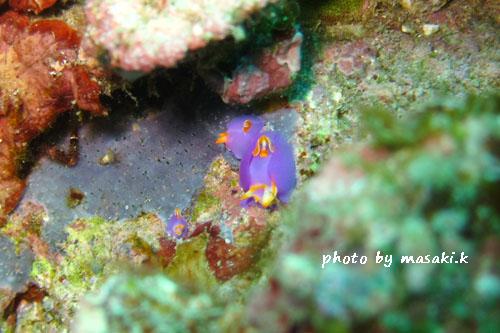 イスズミ礁 ムラサキウミコチョウ