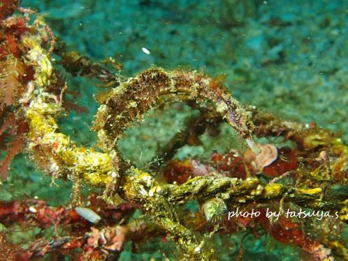 イスズミ礁 タツノイトコ