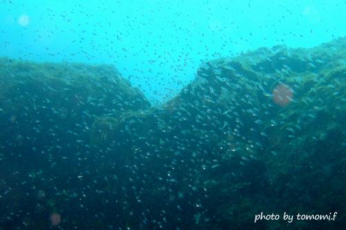 住崎 クロホシイシモチの幼魚達