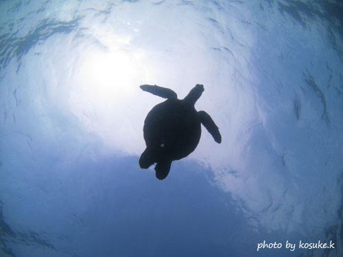 グラスワールド 泳ぎ去るカメ
