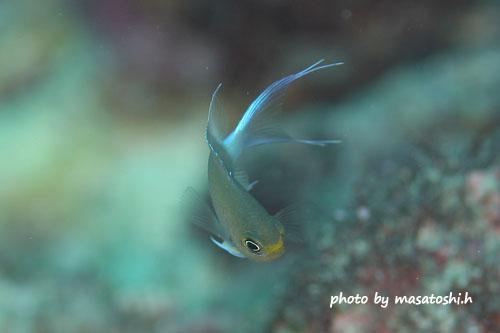 グラスワールド 今シーズン1匹目 マルスズメダイの幼魚