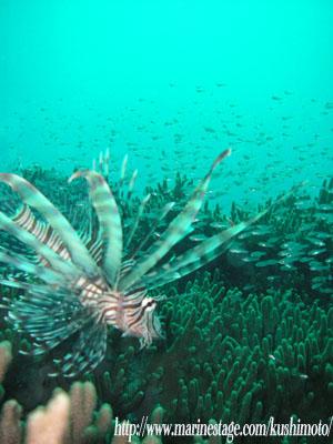 サンビラ 小魚を狙うハナミノカサゴ