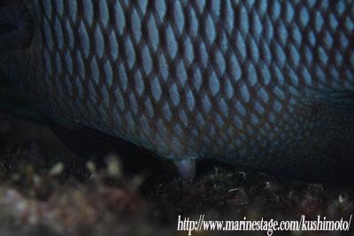 産卵中のミツボシクロスズメダイ