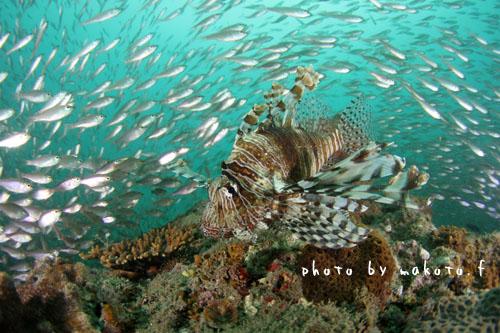 中黒礁 ハナミノカサゴ