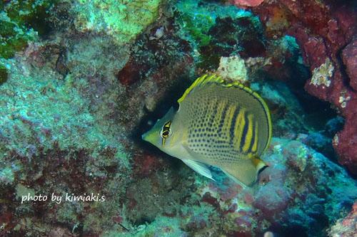 グラスワールド シチセンチョウチョウウオの幼魚