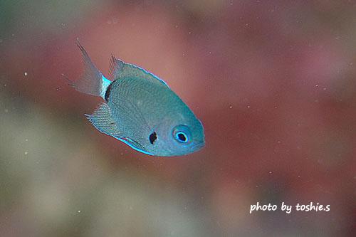 備前 デルタスズメダイの幼魚
