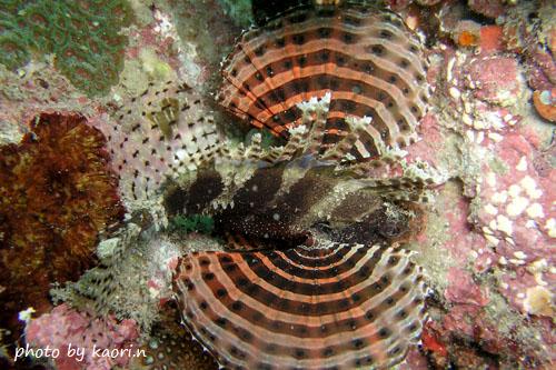 中黒礁 シマヒメヤマノカミ