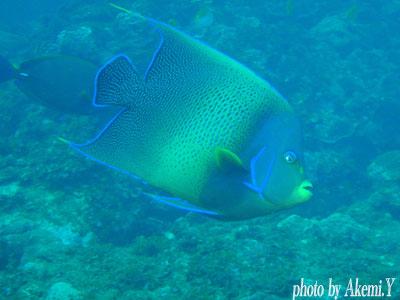 イスズミ礁 サザナミヤッコ