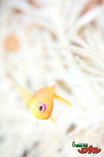 白飛びキンギョ