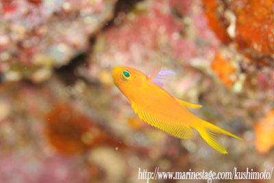住崎 スミレナガハナダイの幼魚