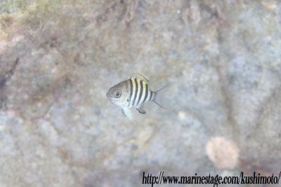 テンジクスズメダイの幼魚