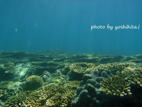 オレンジハウス前 サンゴの群生