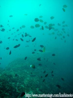 イスズミ礁 チョウチョウウオとナガサキスズメダイ