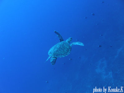住崎 新顔のアオウミガメ
