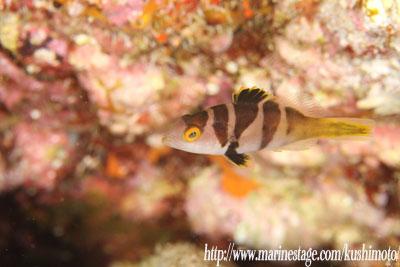 グラスワールド コクハンアラの幼魚