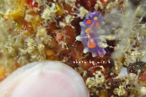 イスズミ礁 ミアミラウミウシ