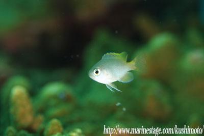 イスズミ礁 アサドスズメダイ幼魚