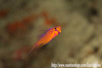 イスズミ礁 ハナゴンベ幼魚