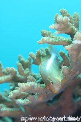 住崎 メガネゴンベ若魚