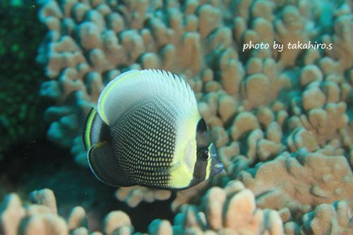 イスズミ礁 まだ居ます!ハクテンカタギ