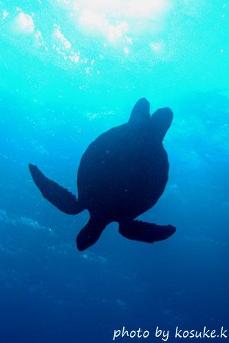 グラスワールド アオウミガメのシルエット