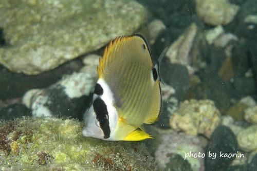 オレンジハウス前ビーチ ツキチョウチョウウオの幼魚