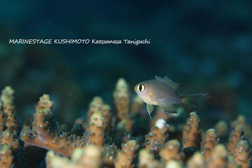 グラスワールド ヒレグロスズメダイの幼魚